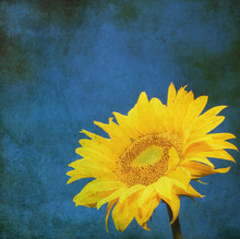 vintage image of sunflower on grunge