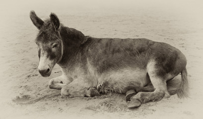vintage sepia toned image of a very old donkey