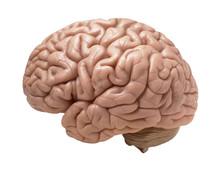 "Постер, картина, фотообои ""human brain on white background"""