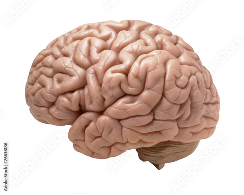 human brain on white background - 26636186