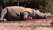 A rhinoceros falling into sleep in a zoo