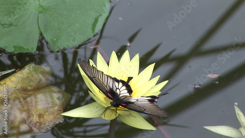 View of a butterfly gathering pollen and nectar on a flower