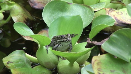 Little frog sitting on a leaf in a lake