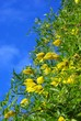 Yellow clematis flowers over the blue sky background