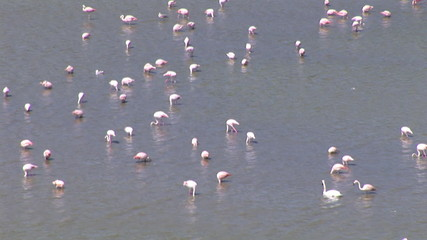Top view of a group of flamingos looking for fishes in the lake