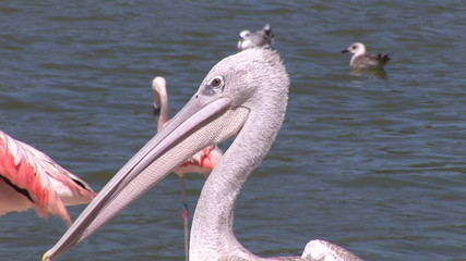 Pelican surrounded by flamingos standing next to a lake