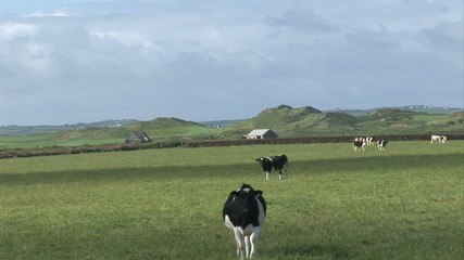 Cows walking and eating on a field with blue sky on background