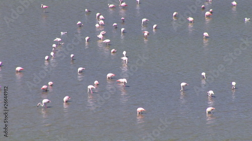 Panorama of flamingos looking for food in a lake