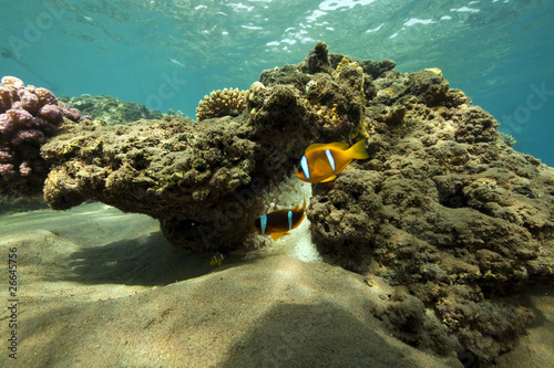 anemonefish and ocean