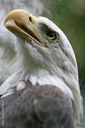 Fototapeten,vögel,raubvögel,adler,sea eagle
