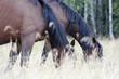 Две коричневых лошади едят траву