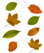 collection different autumn leaves isolated on white background