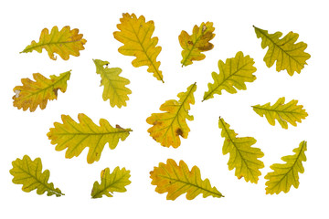 collection autumn leaves of oak on white background