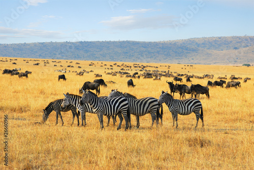 Plexiglas Zebra Zebras and antelopes wildebeest in the savannah