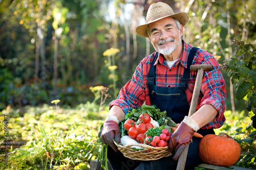Leinwanddruck Bild Senior gardener with  a basket of harvested vegetables