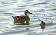 Female mallard duck and her funny child