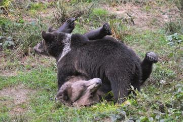 Jungbären