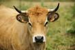 Animal ferme vache 72