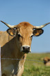 Animal ferme vache 61