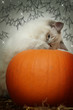halloween kitten and pumpkin
