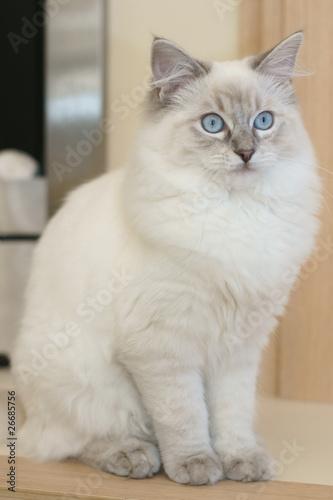 Fotobehang Lynx cat