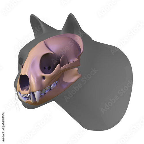 cougar head and skull