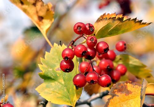"""...напиток ягоды боярышника  """"Беловодье """". арбуз: домашние ягоды."""