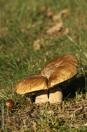 Brown mushroom in the grass