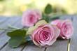 Fototapeten,rose,rosen,frühling,muttertag