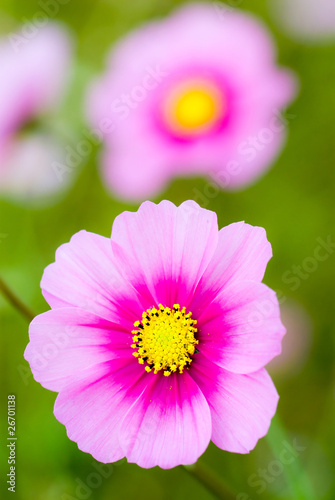 Fotobehang Purper ピンクのコスモスの花のアップ