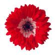 red/white anemone