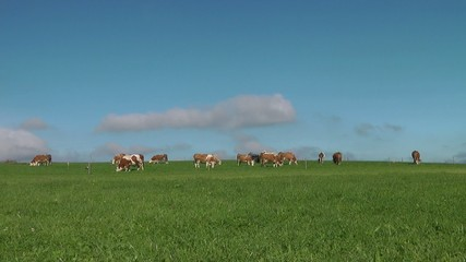 Kuh Herde auf der Weide - Video - Cows