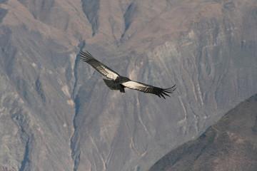 Condor flying through canyon