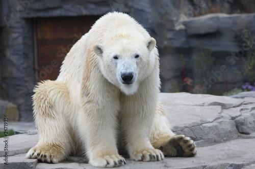 Ein Eisbär sitzt auf seinem Hintern
