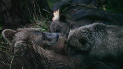Bear cubs drink milk
