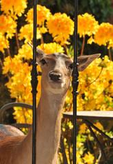 Daino curioso  nel giardino