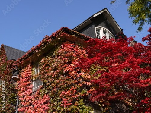 Japanese maple tree and vine covered house in fall