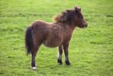 miniature shetland pony horse foal poster
