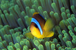 clown fish under the sea#2