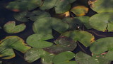 Leaves of water lilies on a pond