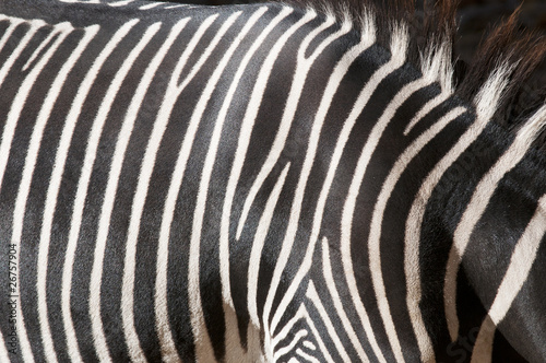 Foto op Canvas Zebra Zebra Zeichnung