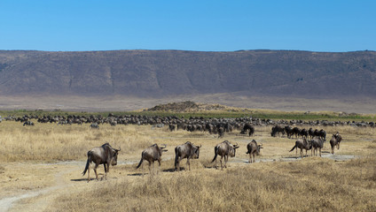 gnu and zebras in Ngorongoro crater