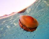 Medusa (jellyfish) in the sea, near the coast line poster