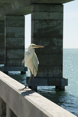 Great white heron on a bridge