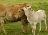 mother  love  charolais cow with baby brahman cross calf