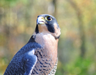 Peregrine Falcon for sports hunting