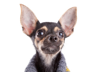 Head Small dog toy terrier in clothes isolated on white