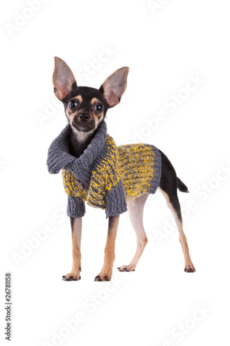 Small dog toy terrier in clothes isolated on white