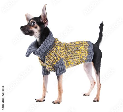 Small dog toy terrier in clothes