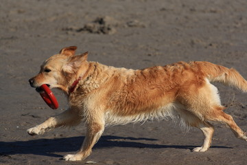 Golden Retriever am Meer /  Golden Retriever on the beach